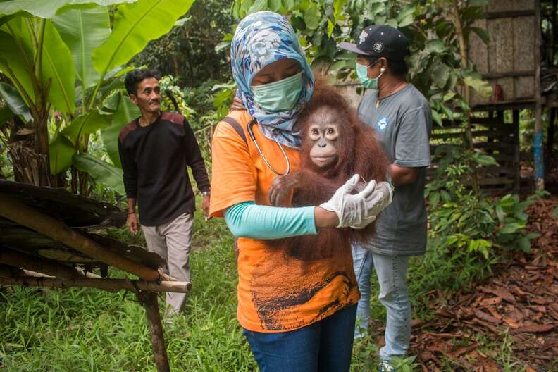 Woman carrying baby orangutan in her arms