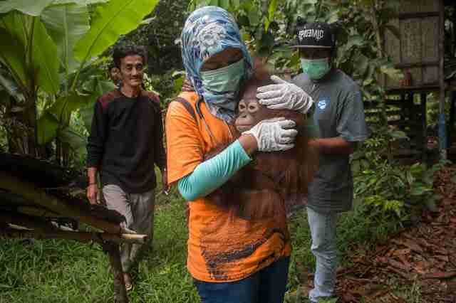 Woman holding scared orangutan in her arms