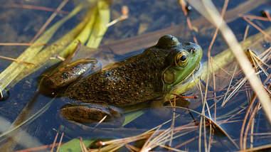 bullfrog american