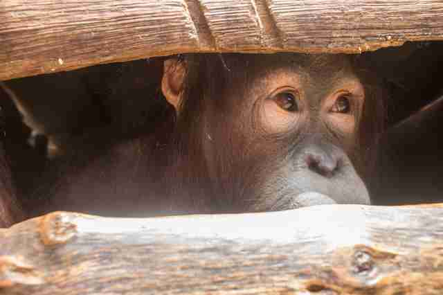 Orangutan looking out through wooden crate