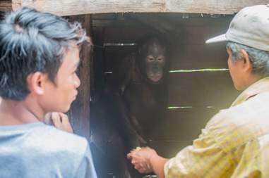 Man holding orangutan's hand