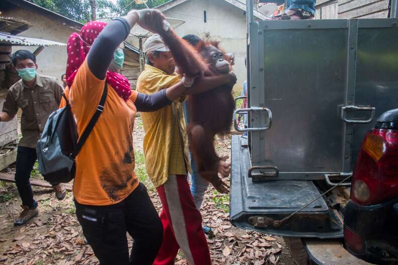 People loading rescued orangutan into transport carrier