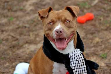 Pit bull mix with scarf around his neck