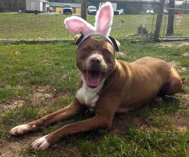 Pit bull mix in bunny ears