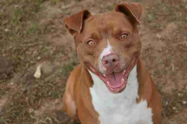 Pit bull mix with big smile