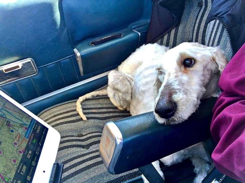 goldendoodle rescue north carolina