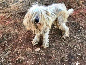 goldendoodle matted skinny north carolina