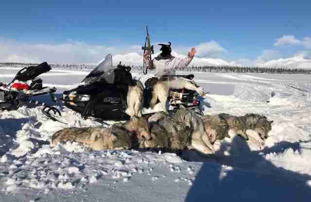 Wolf family killed by hunter on snowmobile near Denali National Park
