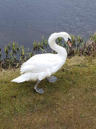 swan covered in oil gets clean