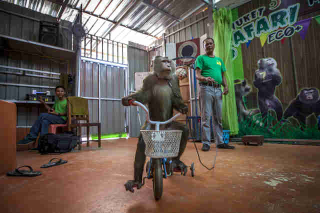 Macaque monkey forced to ride bike at Thailand safari park
