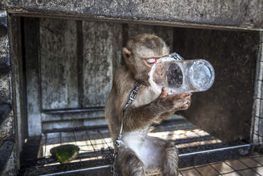 Baby macaque drinking out of plastic cup
