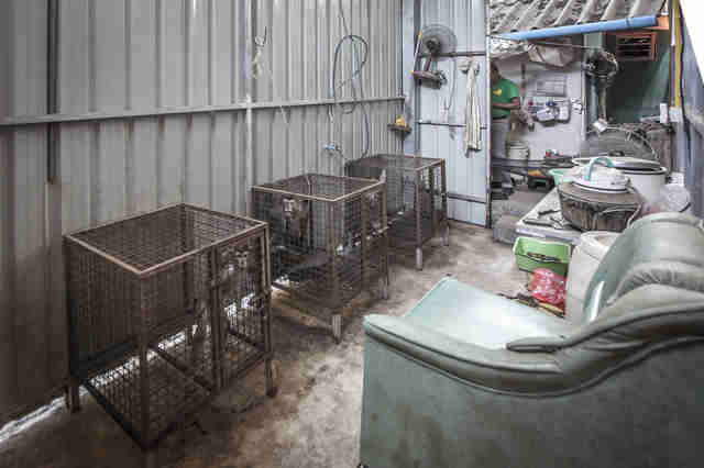 Macaque monkeys locked up in cages