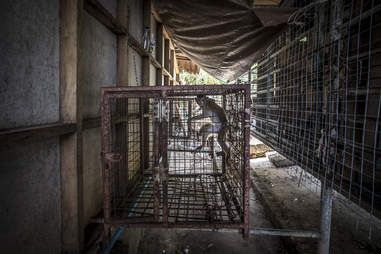 Macaque monkeys stuck inside small cages