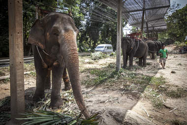 Elephants chained up alongside road