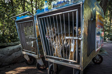 Tiger cubs kept inside tiny cages