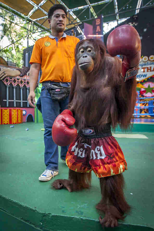 Orangutan forced to box