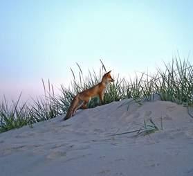 red fox brigantine beach