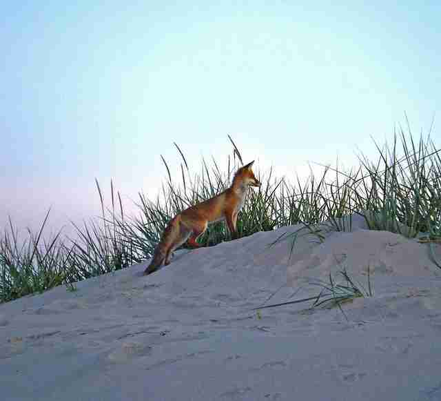 red fox brigantine beach