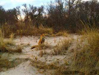 red fox brigantine beach new jersey