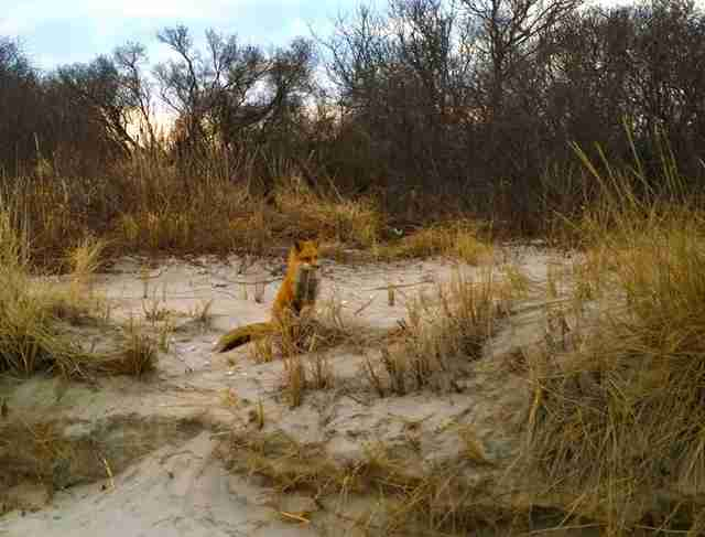 red fox brigantine beach new jersey