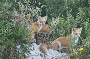 red foxes brigantine beach new jersey