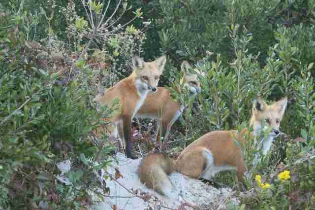 red foxes brigantine beach new jersey