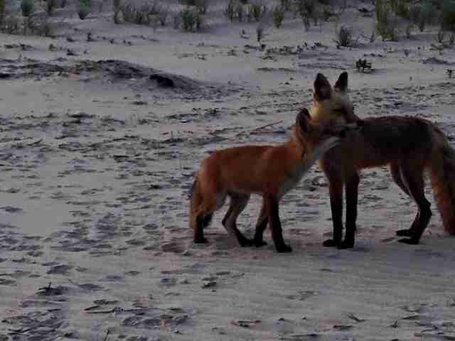 fox cuddle brigantine beach new jersey