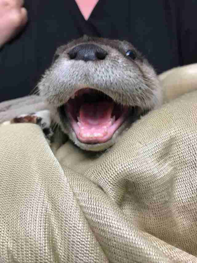 Orphaned Baby Otter Walks Into Family's Garage Seeking Help