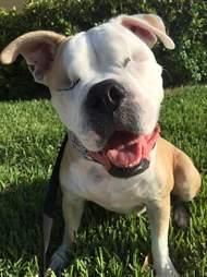 Smiling American bulldog with no eyes