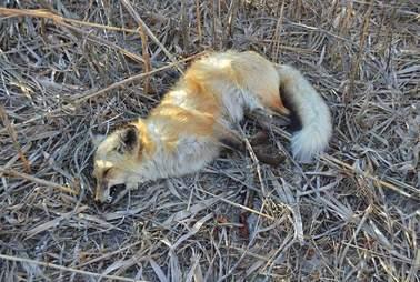 fox dead poison new jersey