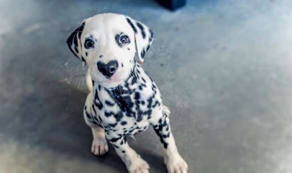 puppy with a heart shaped nose