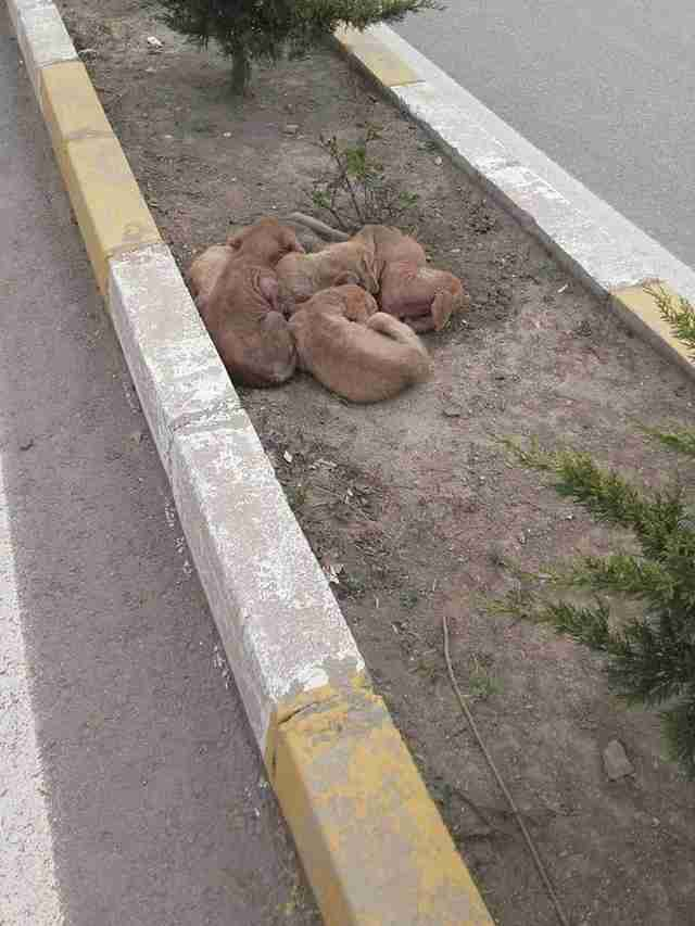 Puppies huddled together on median strip