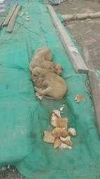 Puppies sleeping in median strip in Turkey