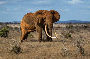Big tusker elephant in Africa