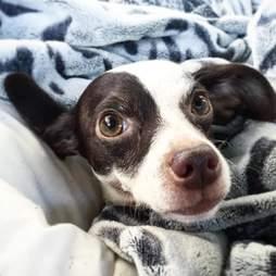 Dog snuggled up in blankets