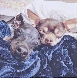 Dogs snoozing together on the bed