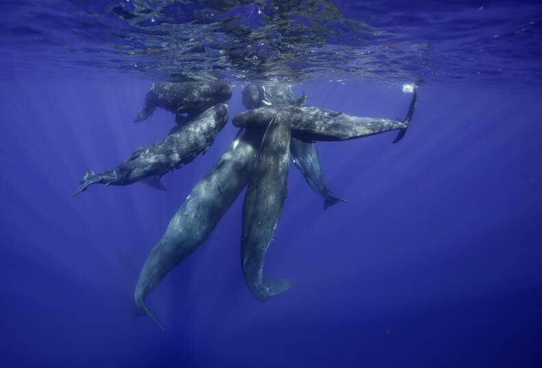 Sperm whale calves swimming together near Africa