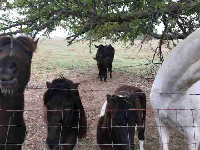 Cow and baby who escaped to animal sanctuary in Texas