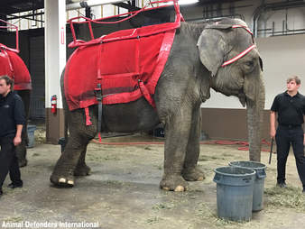 elephant cruelty circus garden brothers