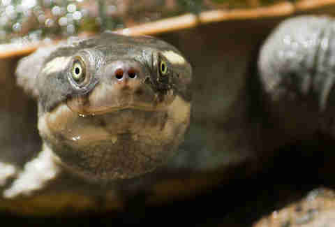 endangered mary river turtle of Queensland, Australia