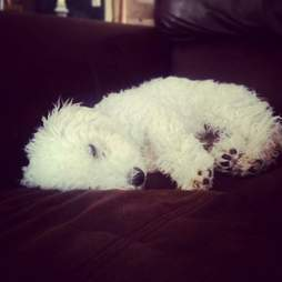Poodle relaxing on the couch