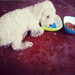 Poodle eating and drinking
