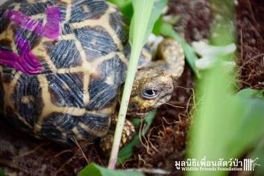 Baby Indian star tortoises saved in Thailand