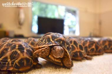 Indian star tortoises saved from traffickers in Thailand