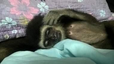 Wild gibbon resting on blankets