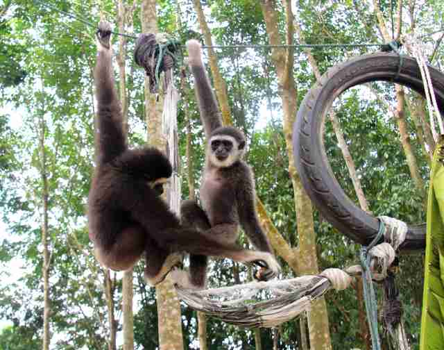 Gibbons climbing together