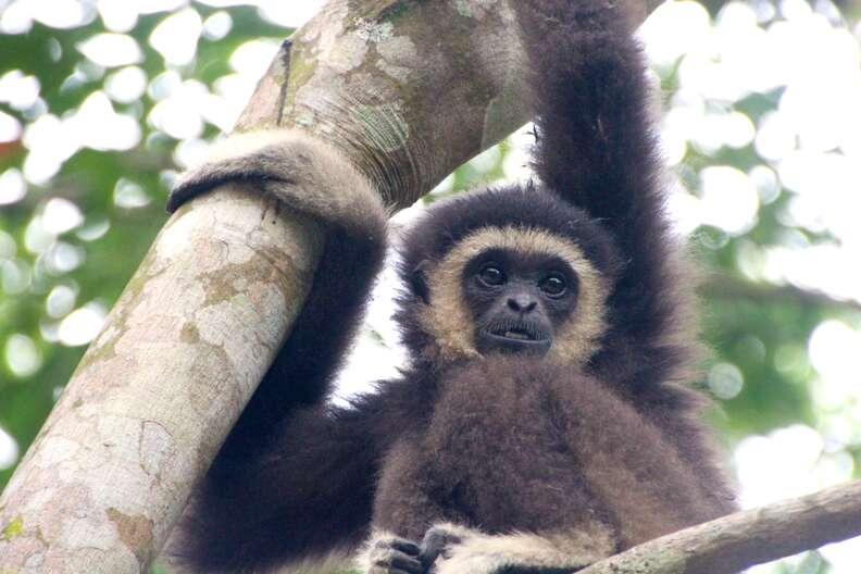 Wild gibbon in tree