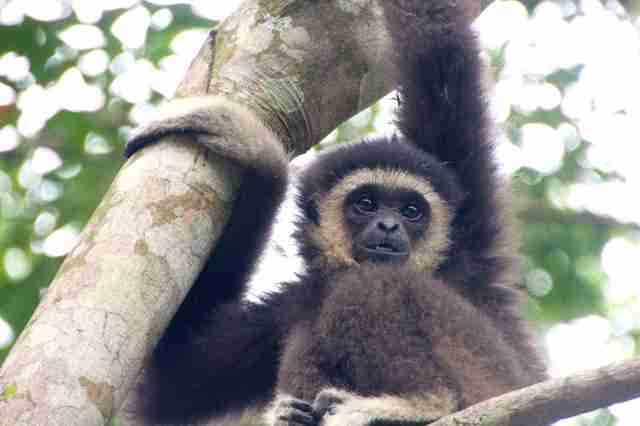 Wild gibbon in tree