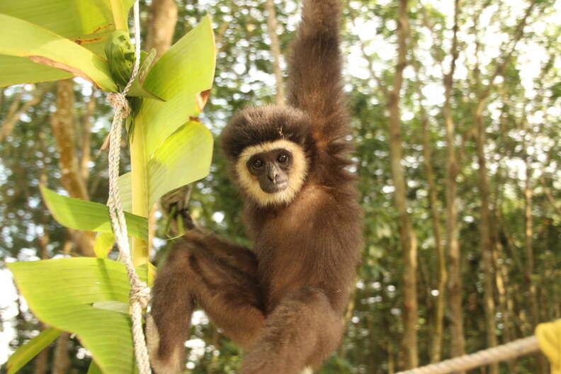 Wild gibbon swinging through trees