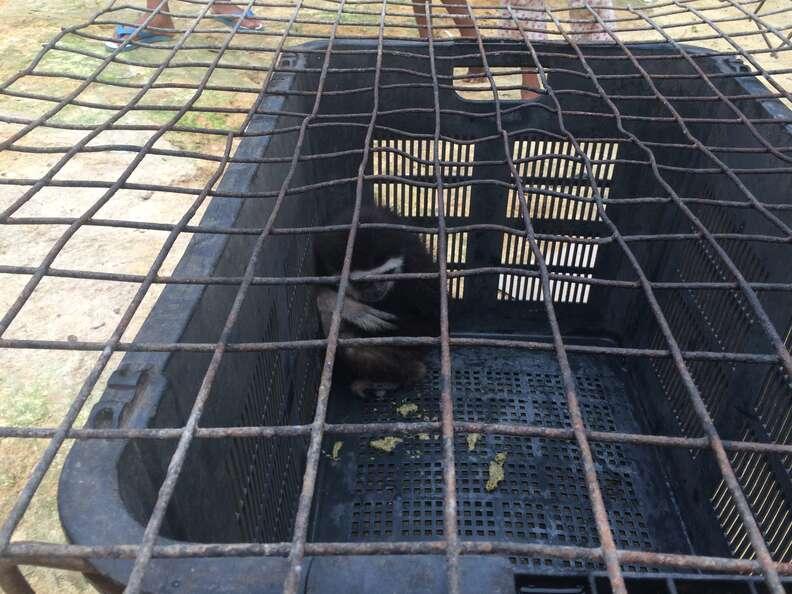 Wild gibbon trapped inside plastic fruit basket